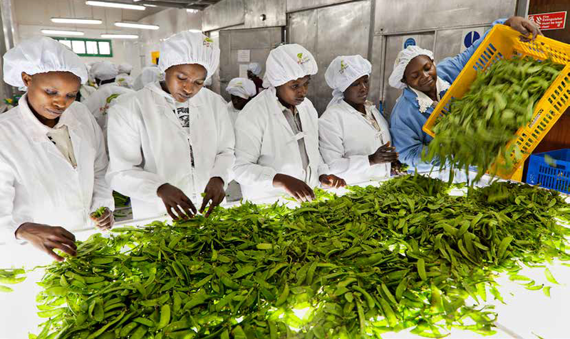 food systems: a group of women wearing hygienic white coats and hair nets sort through green vegetable on a large white table in a clinical food produce factory
